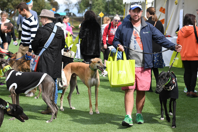 David and Rocky making their way through the crowd at The Meadows for the Greyhound Community Fun Day