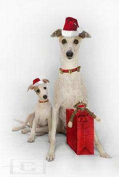 christmas-greyhounds